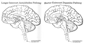 introvert vs extravert brains (processing routes)